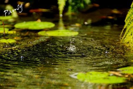 水の涼 PANSYさん.jpg