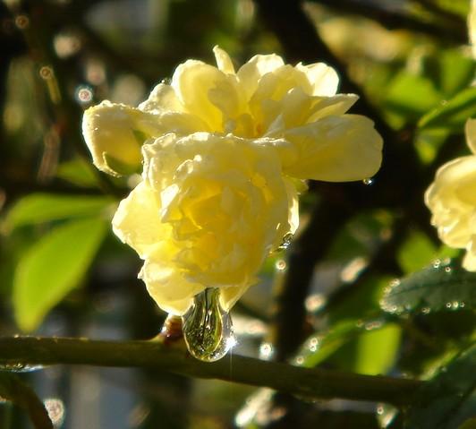 黄薔薇のオーブ PANSYさん.jpg
